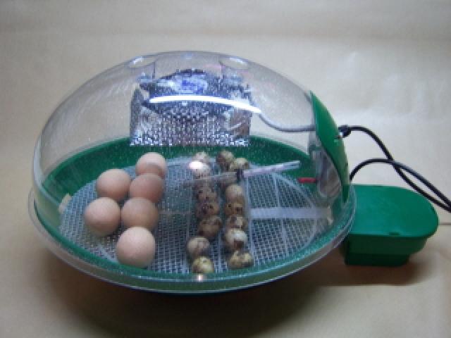 incubation oeufs de colvert